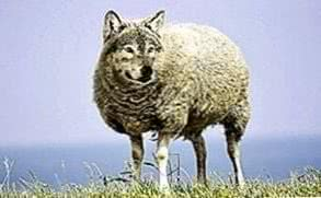 Sheep Wolf Wallpapers
