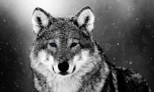 Wallpapers Wolf Snow