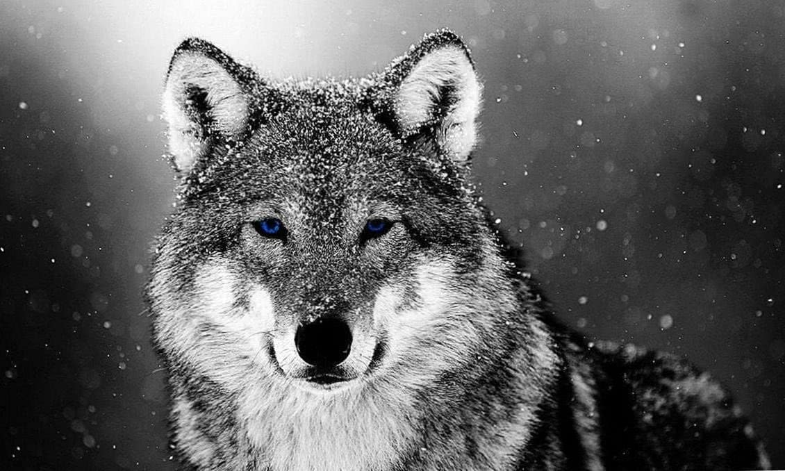 Wolf In Snow Wallpapers