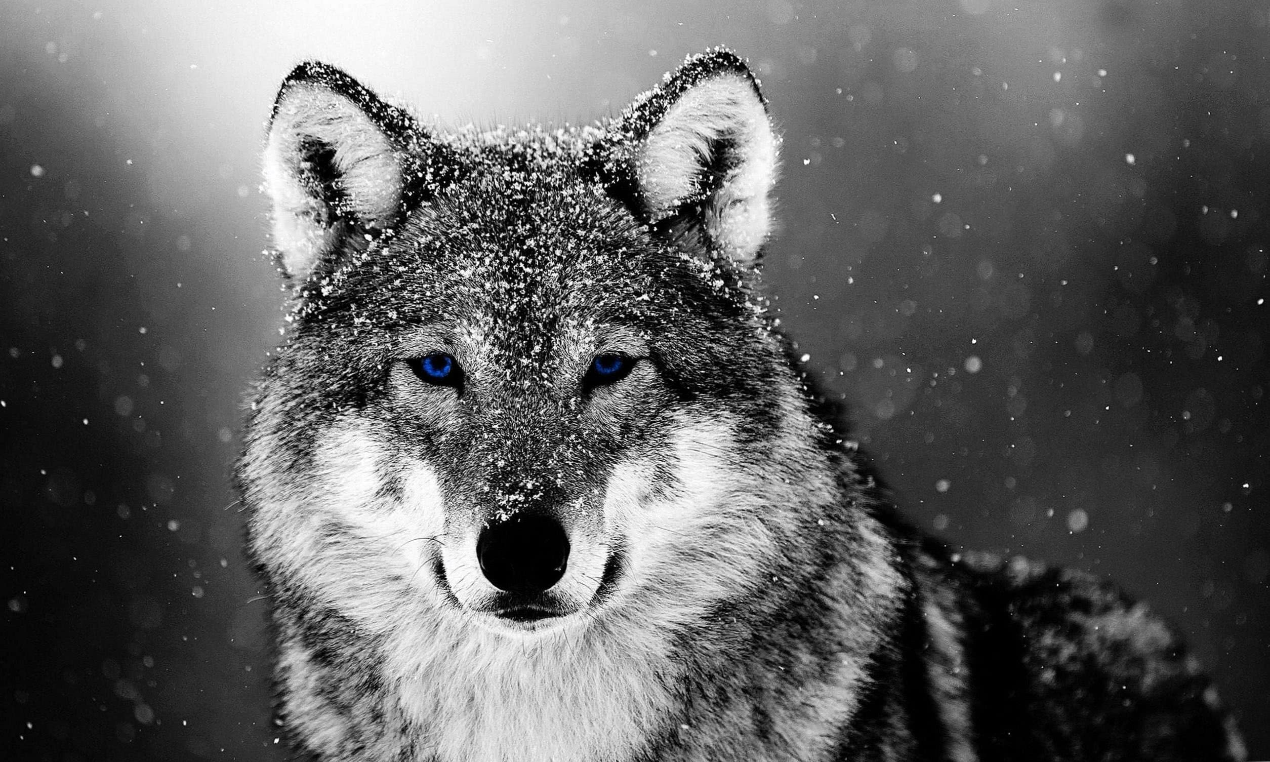 Wolf In The Snow Wallpapers