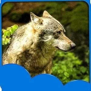 Live Wolf Wallpapers Application