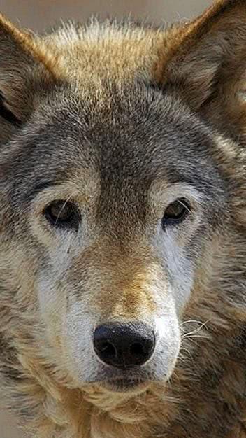 Lone Wolf Wallpaper Cellphone