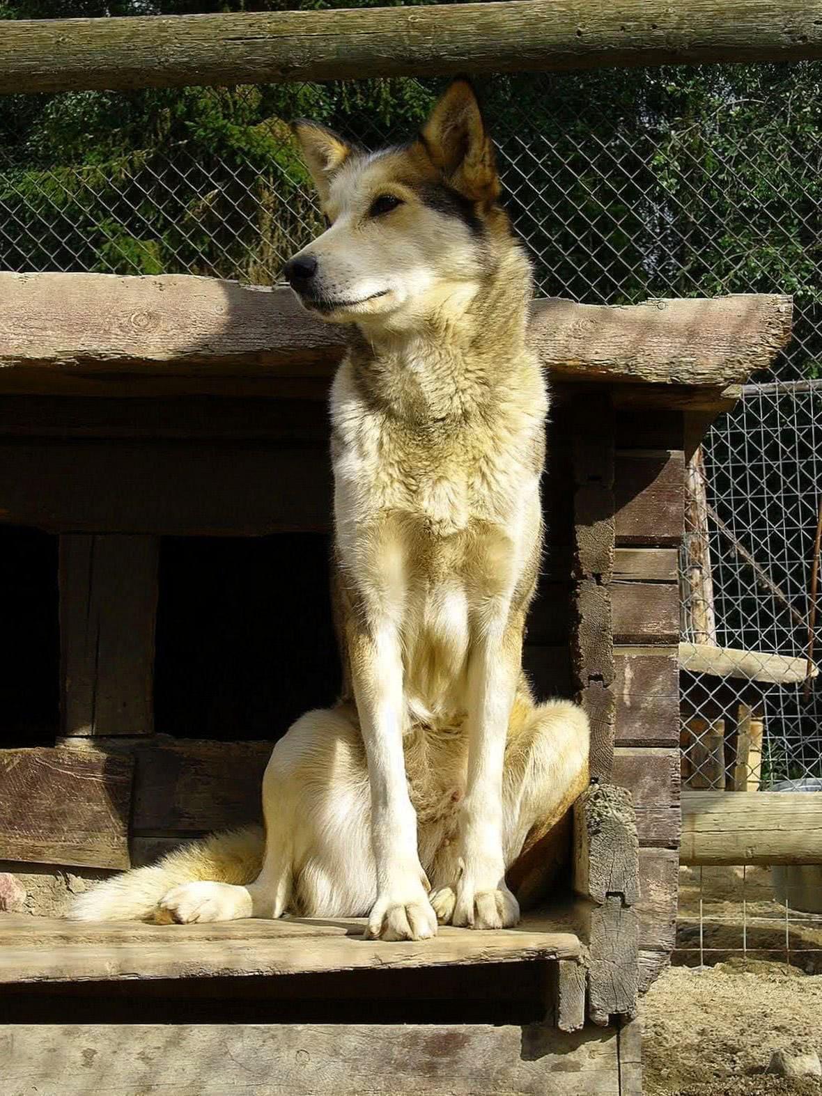 Wallpaper Wide Wolf