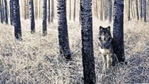 Wolf Tree Wallpapers