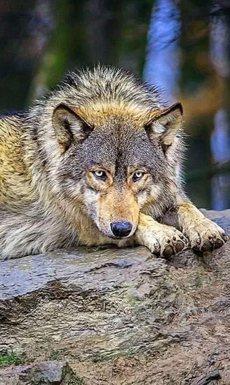 Wolves Wallpaper App