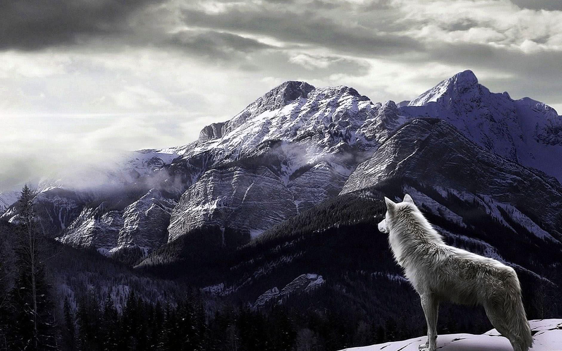 Wolf Snow Desktop Wallpaper