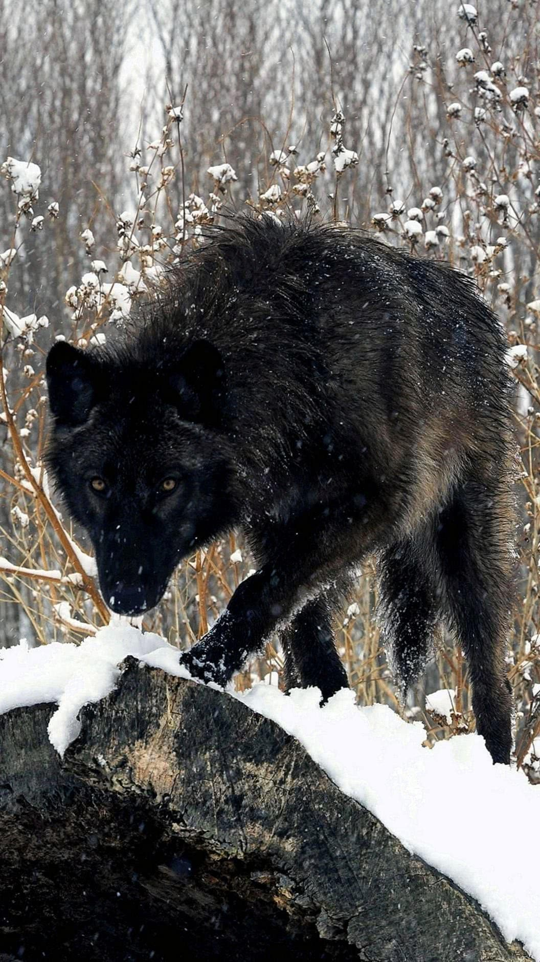 Black Wolf Wallpapers 1080×1920