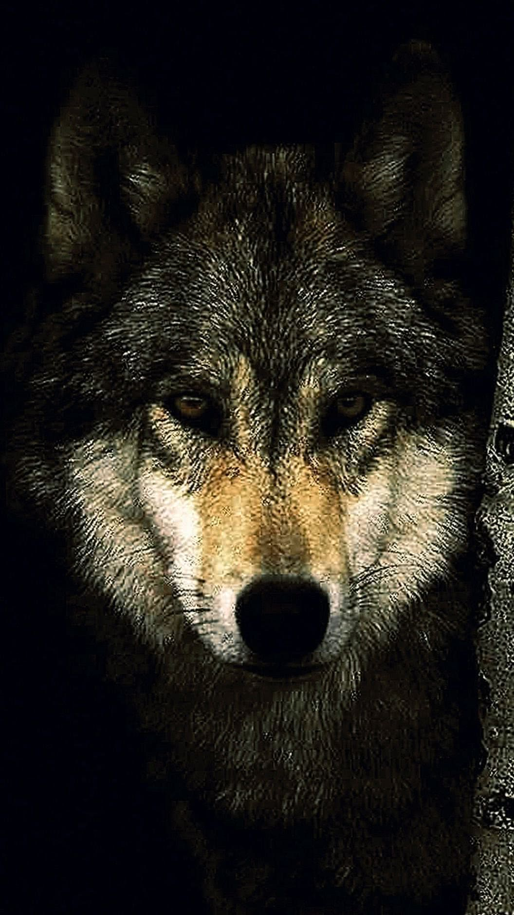 Picture Of Wolf Wallpaper