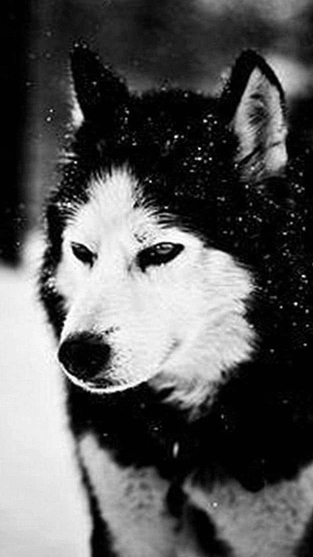Snow Wolf iPhone Wallpapers