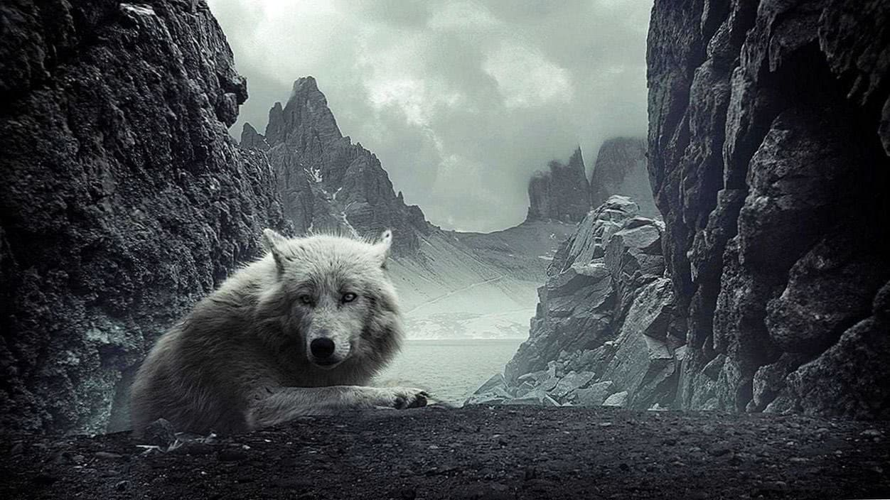 Wolf Wallpapers 1280x720