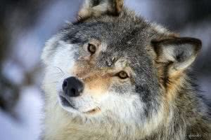 Wolf Half Face Wallpapers