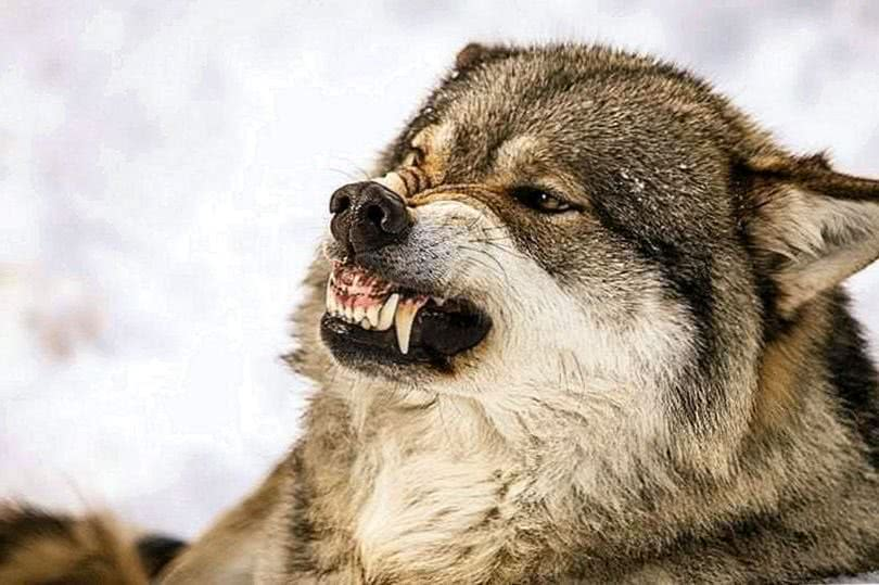 Angry Wolf Wallpaper HD For Mobile