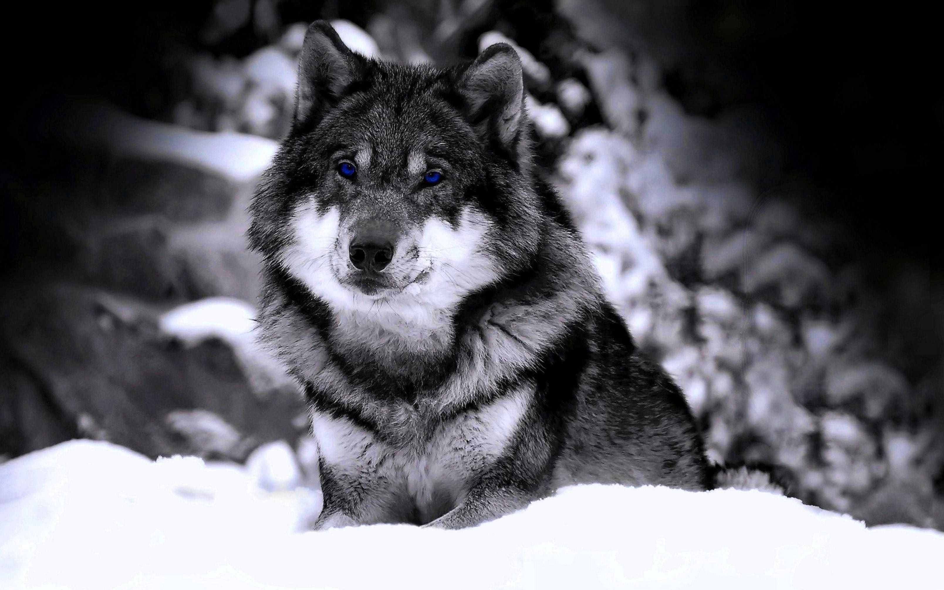 HD Wolf Wallpapers For PC