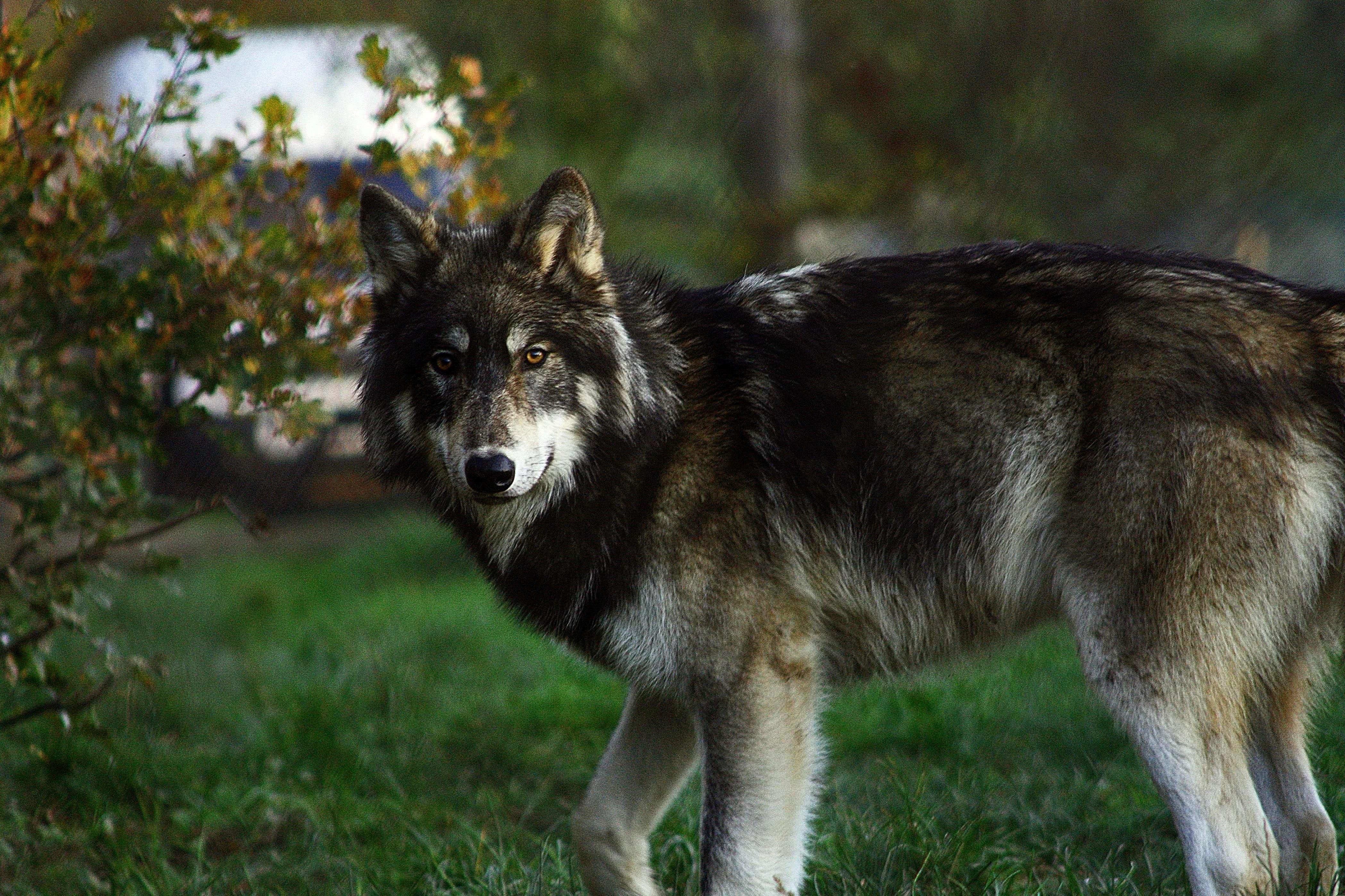 Wolf Windows 8 Wallpapers