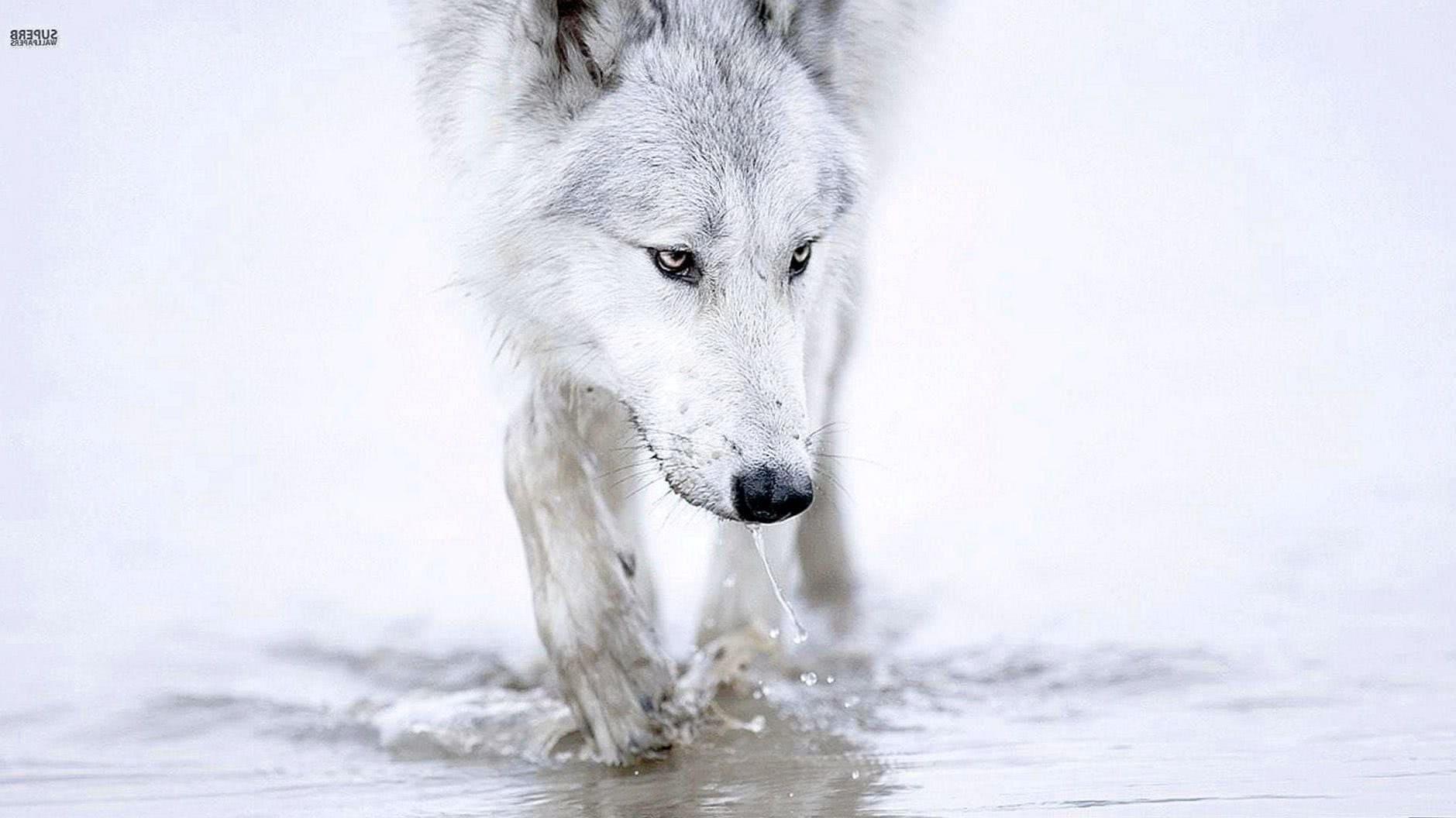 White Wolves Wallpaper HD