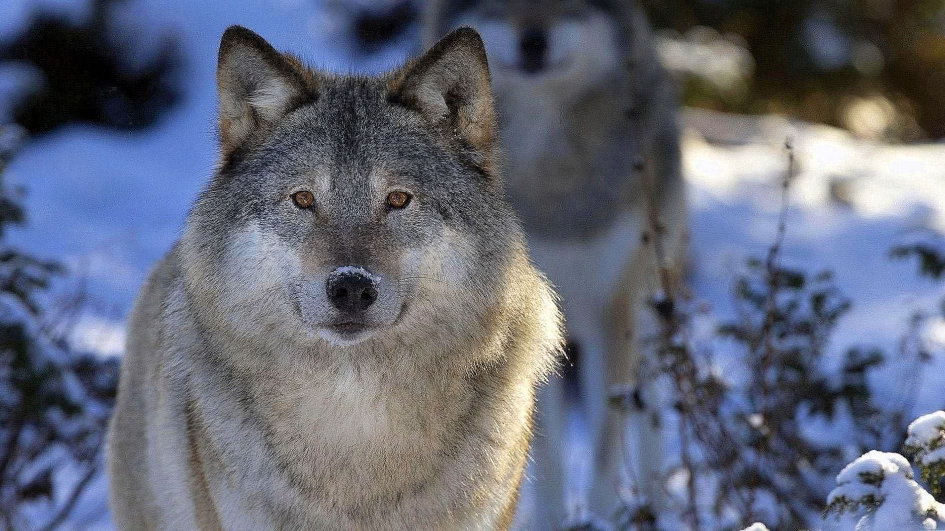 Grey Wolf Wallpapers 1920x1080