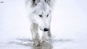 Wallpapers White Wolf