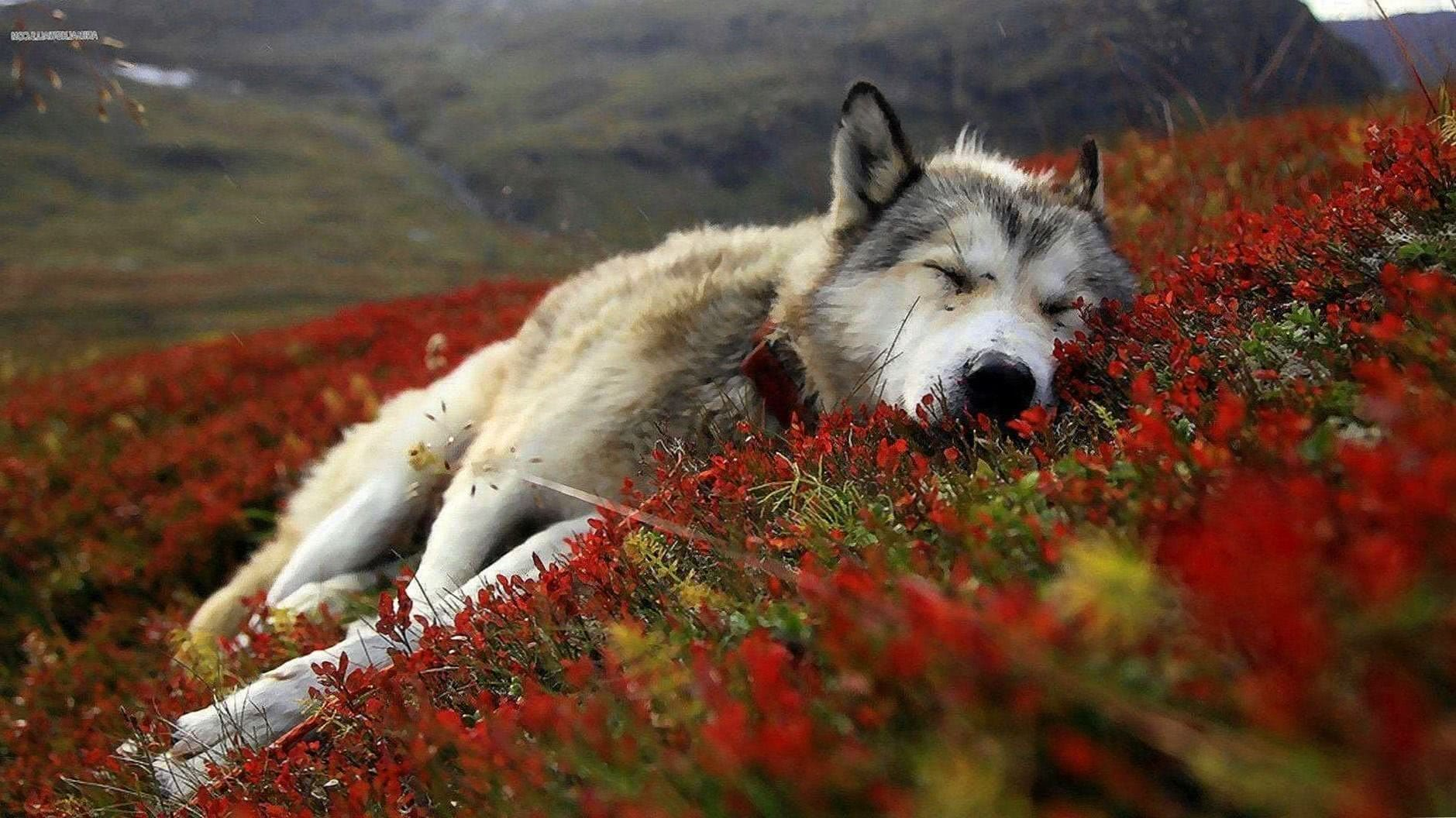 Wolf Wallpapers 1920×1080