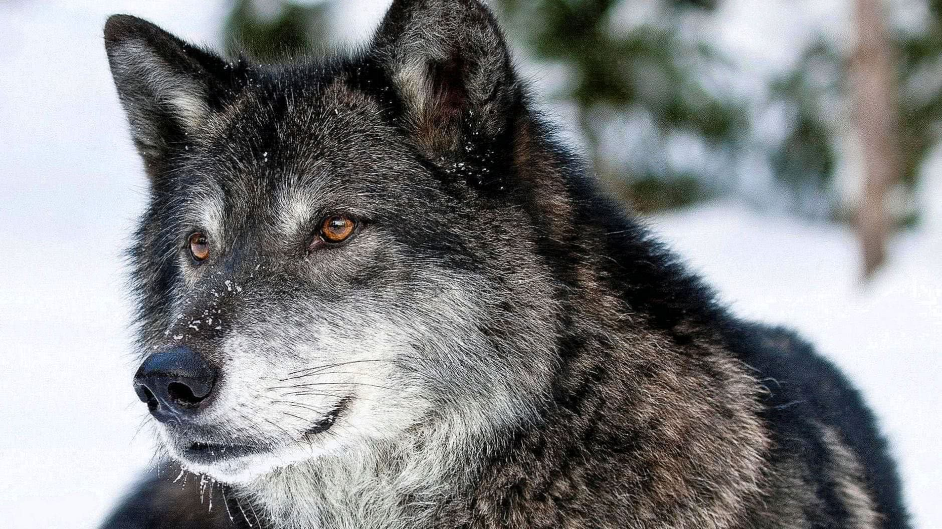 Wallpapers Gray Wolf