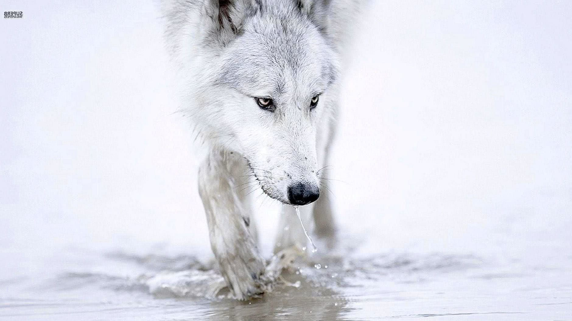 HD Wallpapers White Wolf