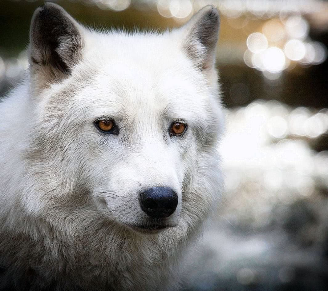Wolf Screen Wallpapers Wolf Wallpapers Pro