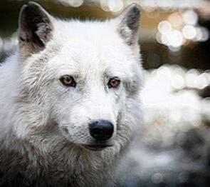 Wolf Screensaver Wallpapers