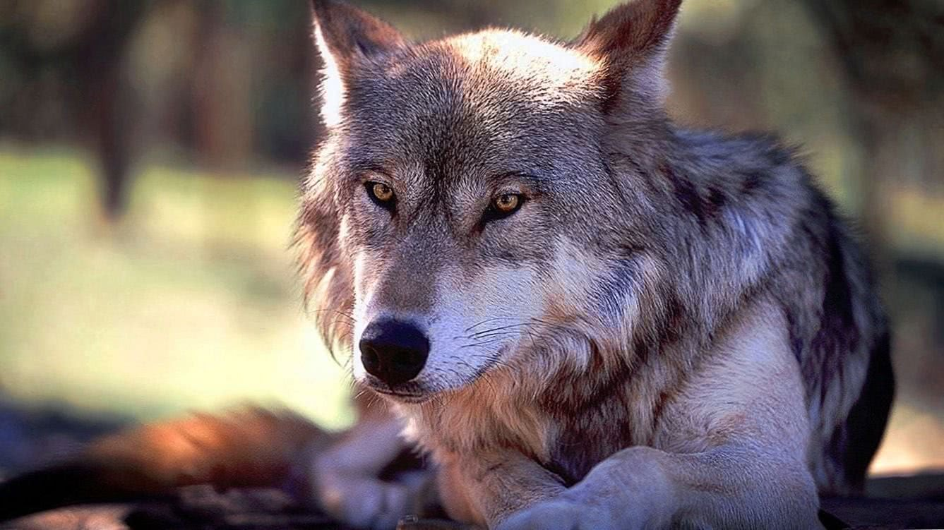 Wolf Wallpaper For Windows