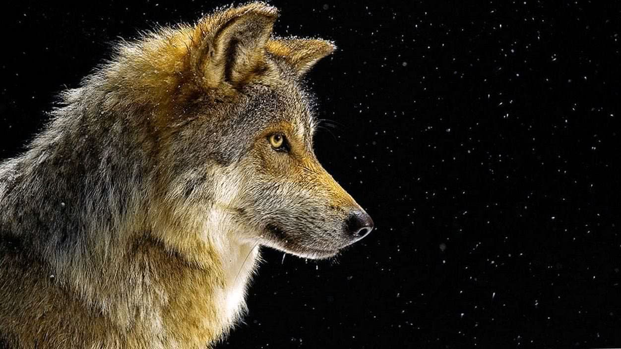 Wolf HD Wallpapers Windows 10