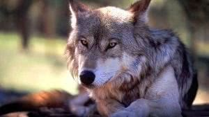 Windows 7 Wolf Wallpapers
