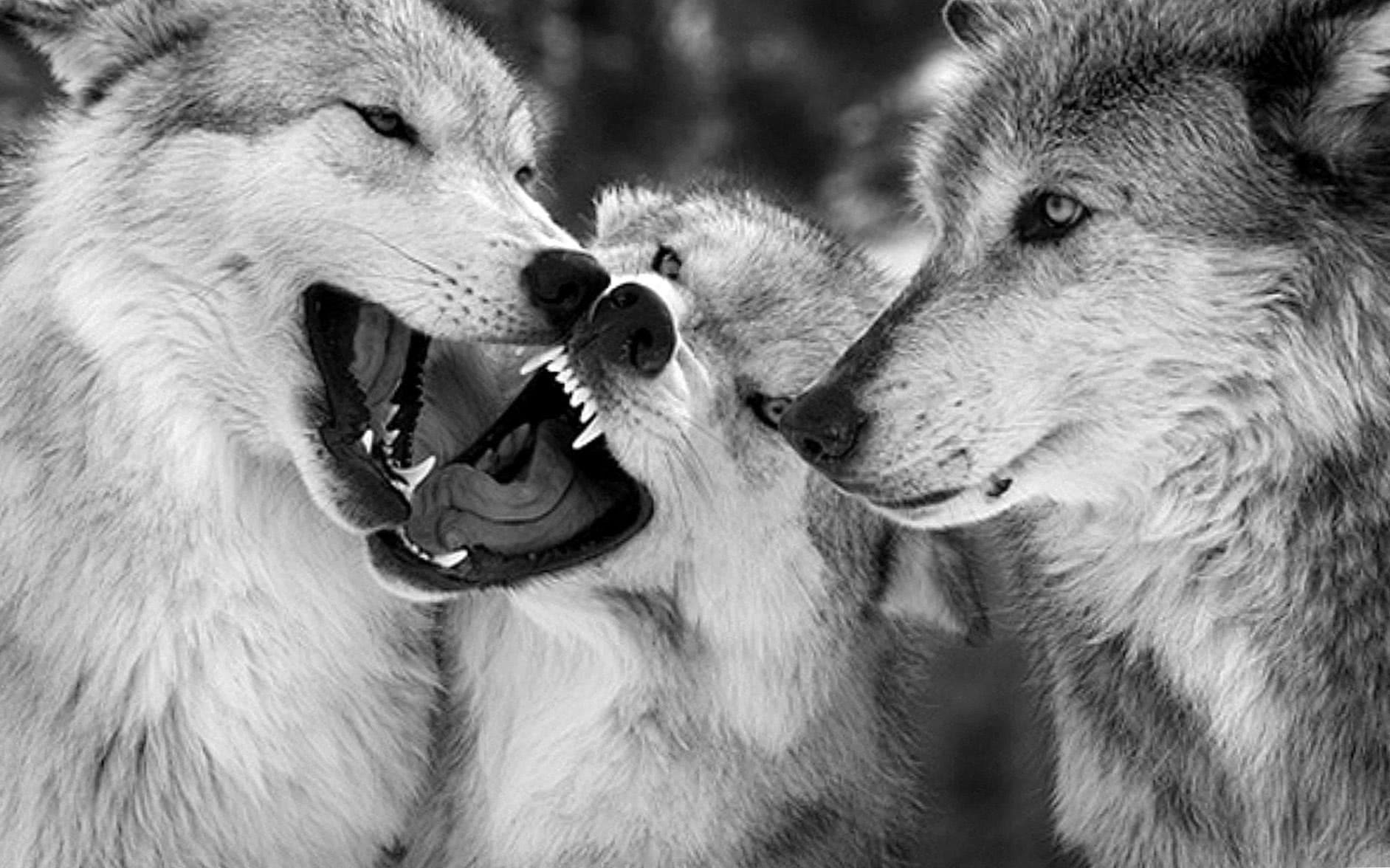 HD Wallpaper Of Wolves