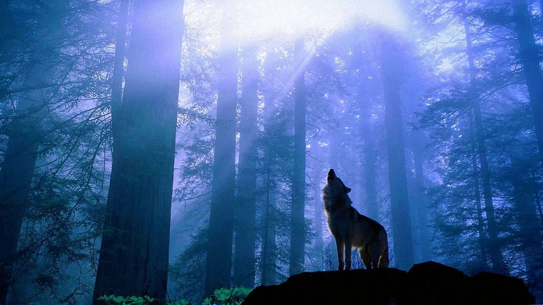 Wolf HD Wallpaper 1080p For Mobile