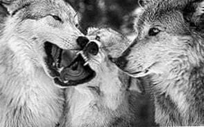 Wolf Best HD Wallpapers