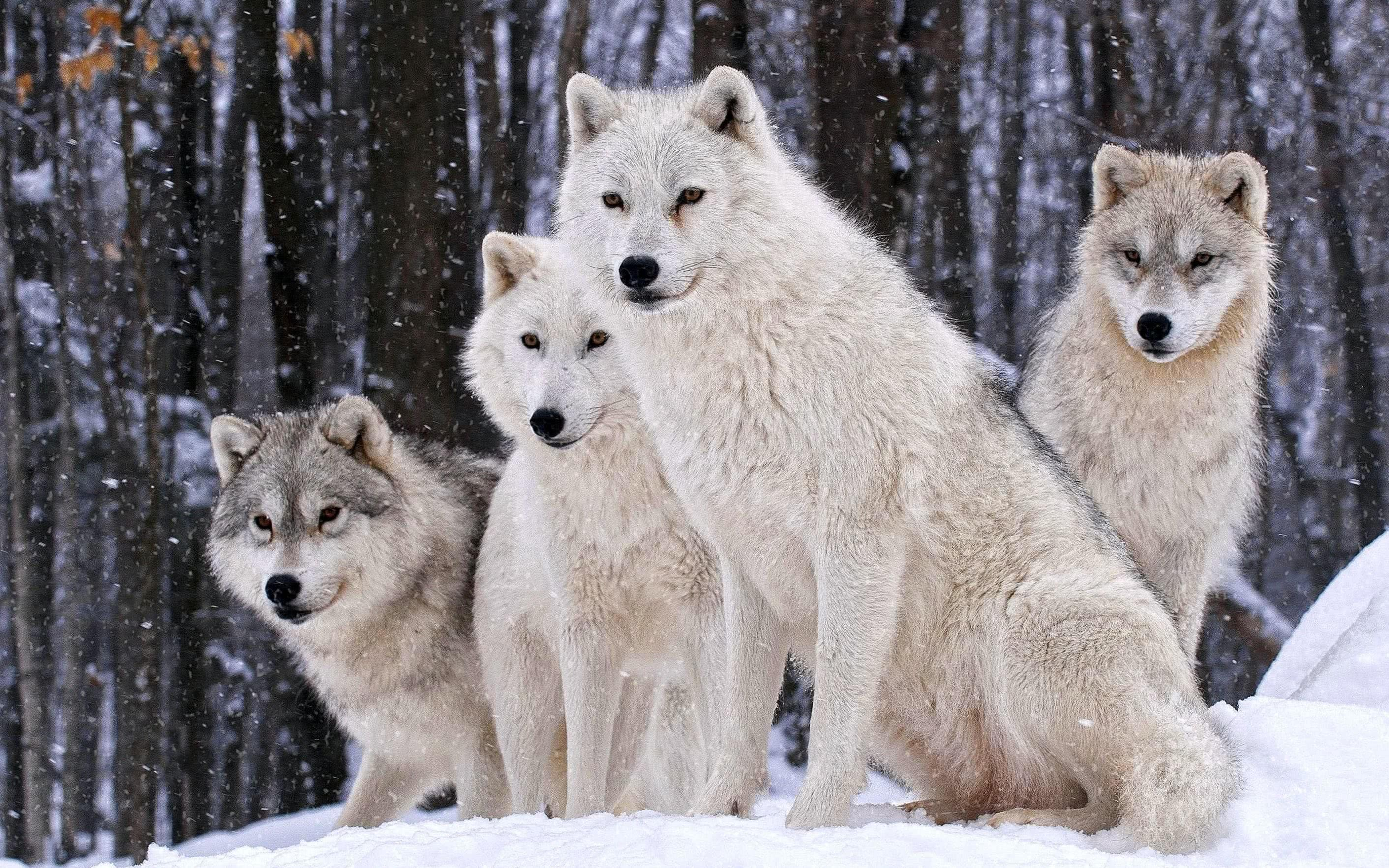 White Wolves HD Wallpapers