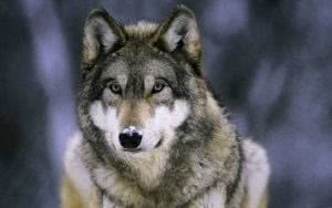 Wolf Wallpapers Cave