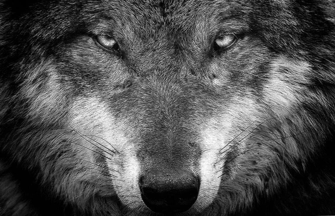 Wolf Wallpapers For Tab