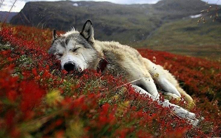 Wallpaper Windows 10 Wolf