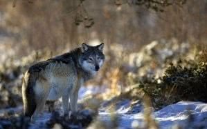 Wallpapers Nature Wolf