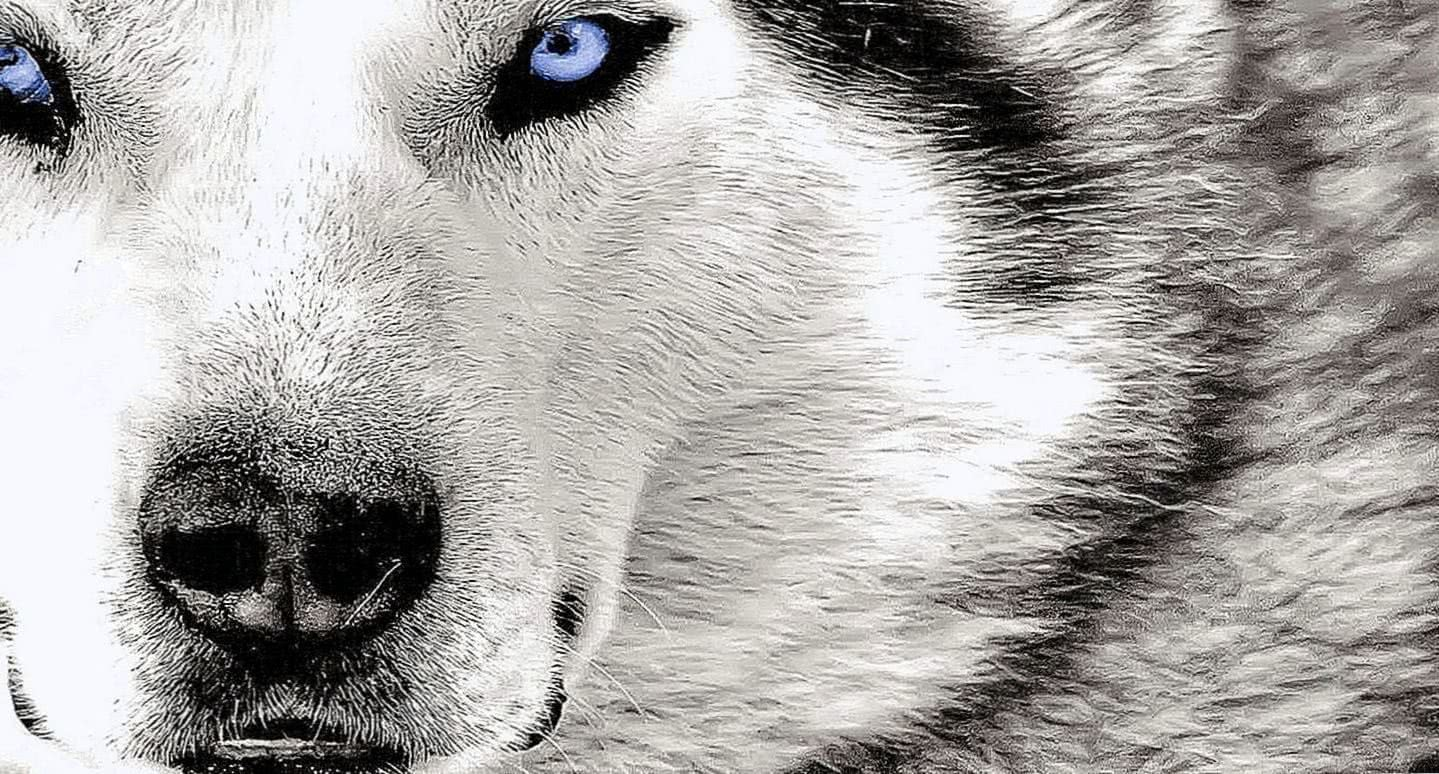 Crying Wolf HD Wallpaper