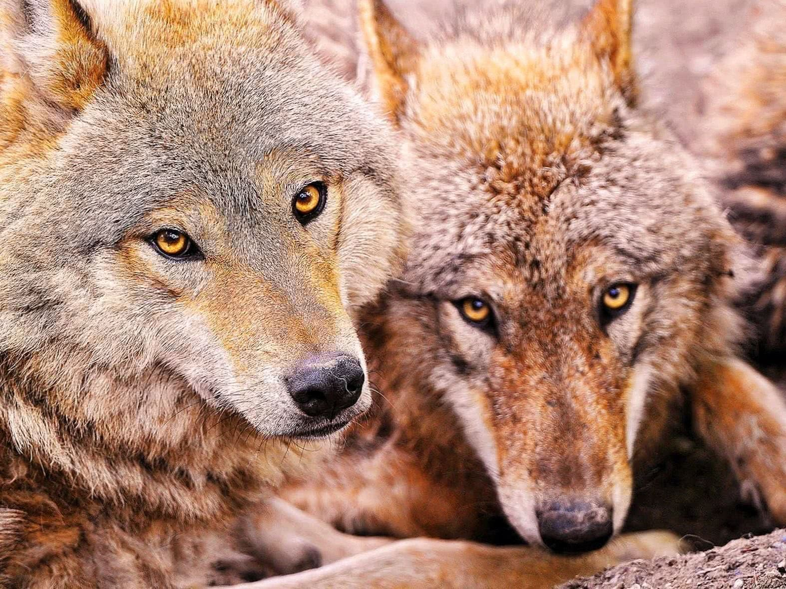 Foto Wallpapers Wolf