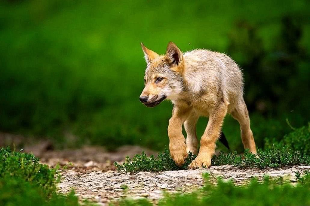Wolf Puppy Wallpapers