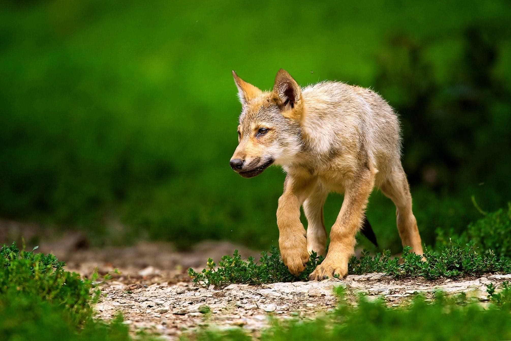 Baby Wolf Pups Wallpapers Wolf Wallpapers Pro