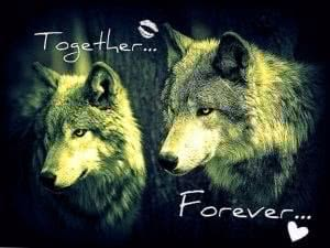 Wolf Love Desktop Wallpapers