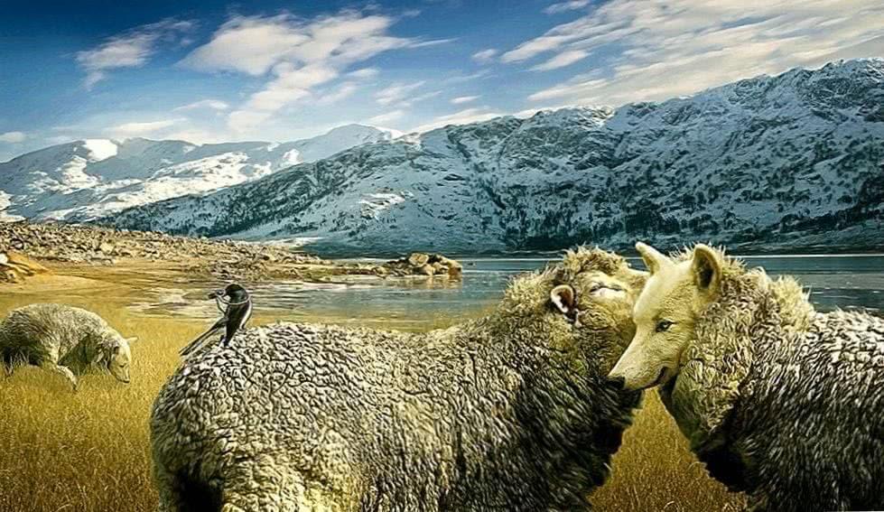 Wallpaper Wolf Sheep