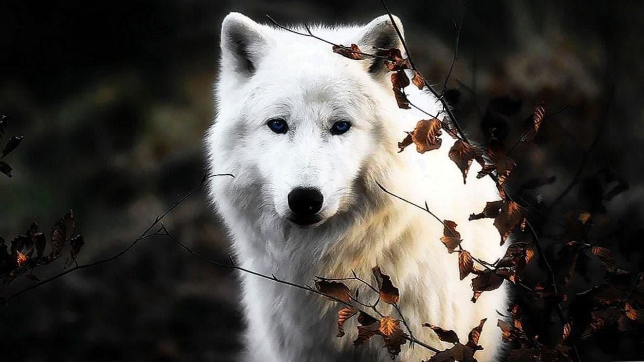Picture Of A White Wolf Wallpaper