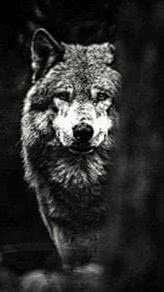 Tumblr Wallpapers Wolf